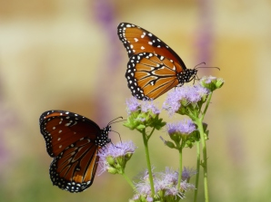 Back home in Texas, butterfly pollinators.